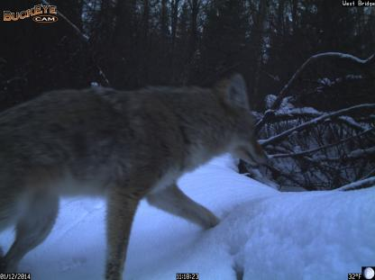 Coyote in fresh snow