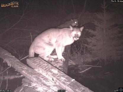 Two Mountain lions perched on a log