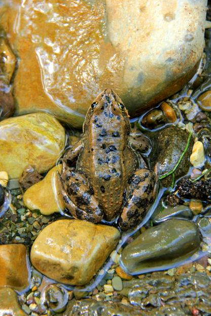 Columbian Spotted Frog