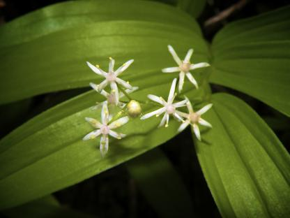 False Solomon's Seal, by Jeff Clarke
