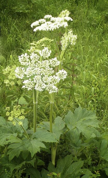 Cow-parsnip, by Jeff Clarke