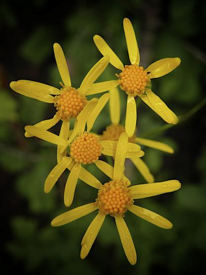 Western Golden Groundsel, by Jeff Clarke