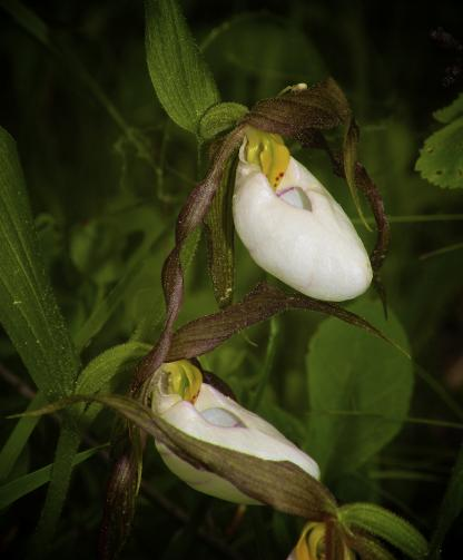 Mountain Lady's-slipper, by Jeff Clarke