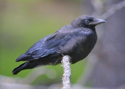 Juvenile American Crow by Alan Ramsey