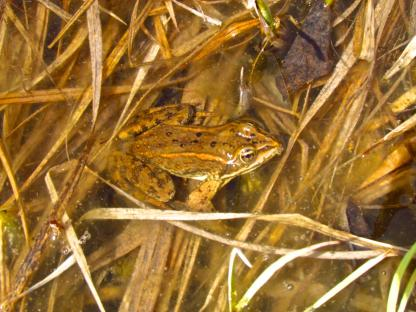 Columbia Spotted Frog by Larinda hunt