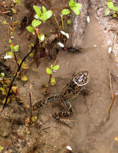 Columbia Spotted Frog by Beau Larkin