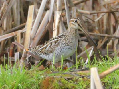 Common Snipe by Alan Ramsey