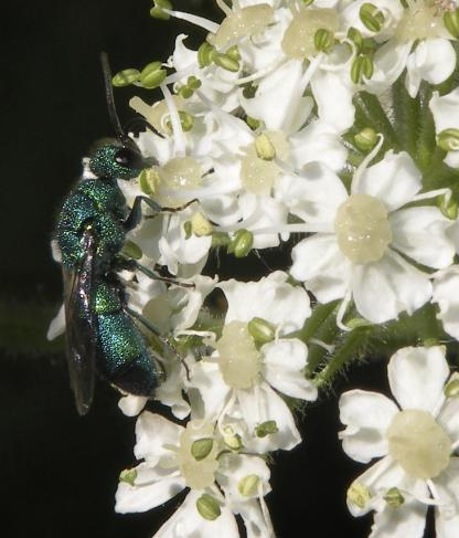 Cuckoo Wasp by Jeff Clark