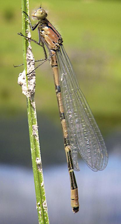 Damselfly by Jeff Clarke