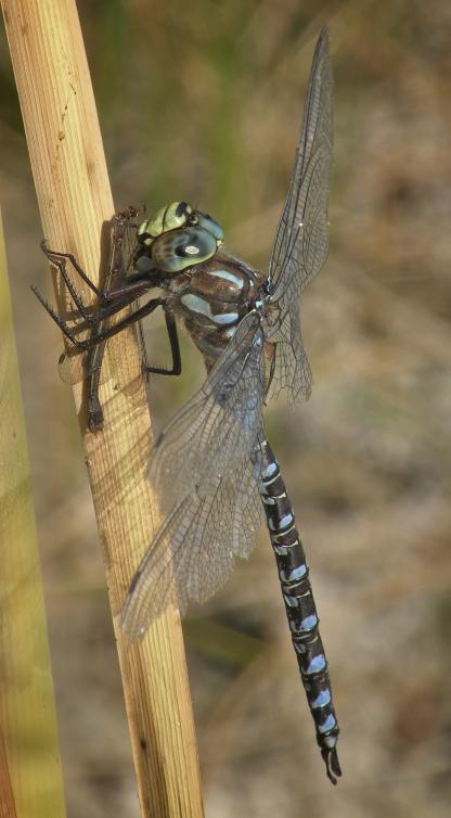 Lake Darner by Jeff Clarke