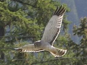 Northern Harrier by Alan Ramsey