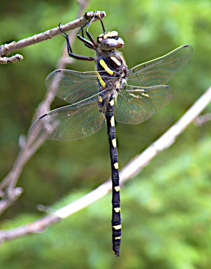 Pacific Spiketail by Jeff Clarke