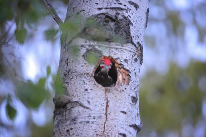 Pileated Woodpecker by Alan Ramsey