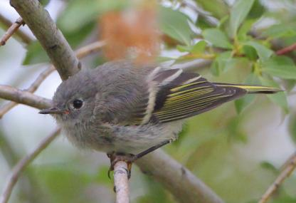 Ruby-crowned Kinglet by Alan Ramsey
