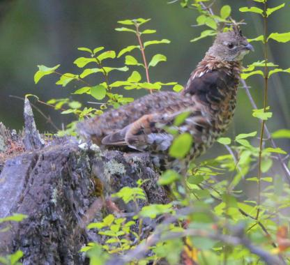 Ruffed Grouse by Alan Ramsey