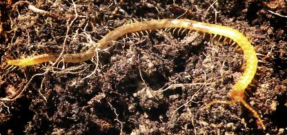 Soil Centipede by Jeff Clarke