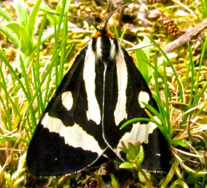 Wood Tiger Moth by larinda Hunt