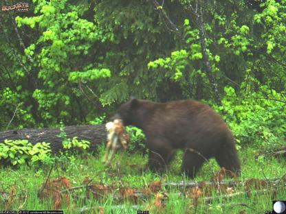 Black Bear with Fawn
