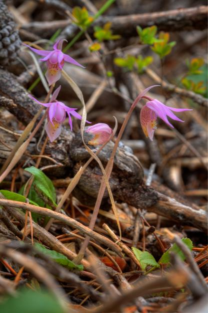 Fairy Slipper by Alan Ramsey