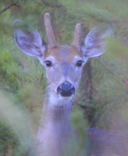 White-tailed doe by Alan Ramsey