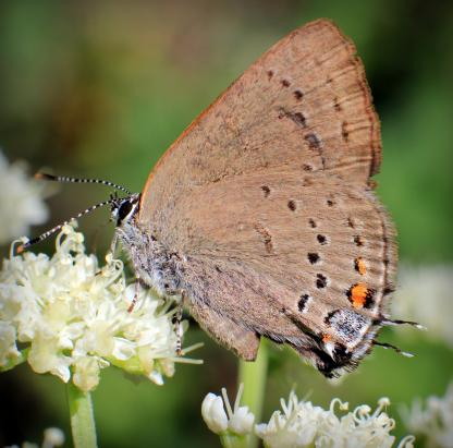 Hairstreak Satyrium by Beau larkin