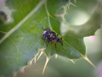 Thistle-stem Mining Weevil by Beau Larkin