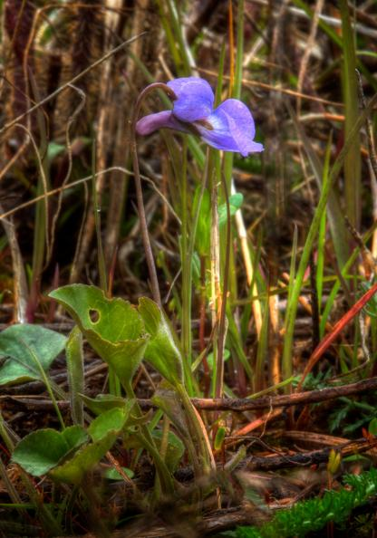 Western Dog Violet by Alan Ramsey